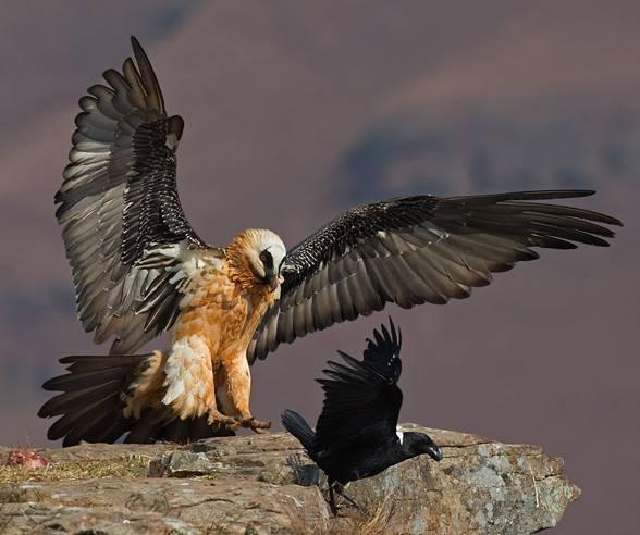 Bearded vulture (Gypaetus barbatus).