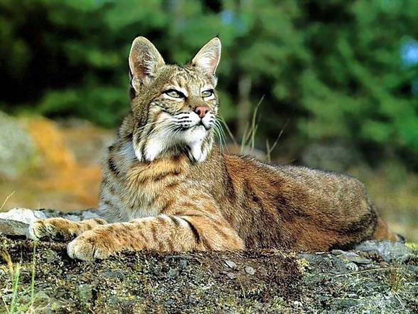 Bobcat (Lynx rufus) is found in the central and southern parts of North America.