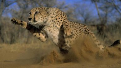 Photo of Cheetah – the fastest land animal in the world