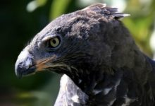 Photo of Crowned eagle – the most powerful eagle