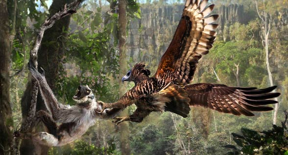Malagasy crowned eagle / Madagascan crowned hawk-eagle (Stephanoaetus mahey)