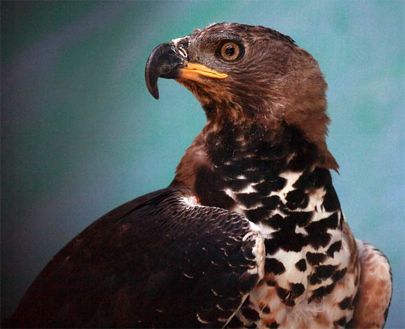 Crowned eagle (Stephanoaetus coronatus).