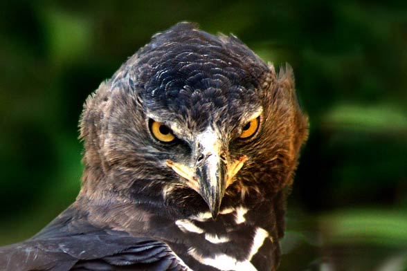 Crowned eagle (Stephanoaetus coronatus).