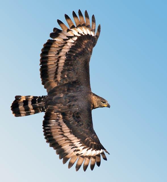 Crowned eagle (Stephanoaetus coronatus)
