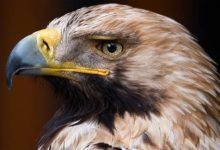 Photo of Eastern imperial eagle – unapproachable bird
