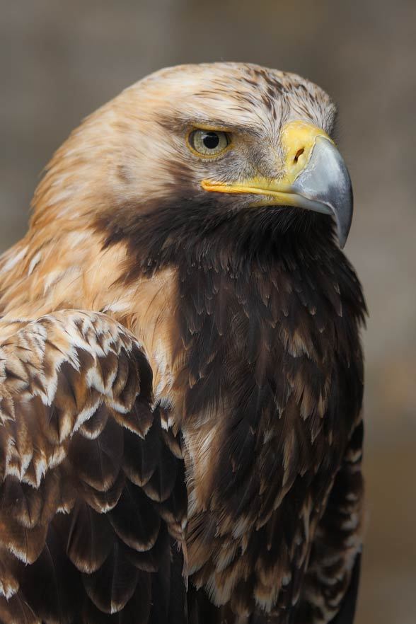 Eastern imperial eagle (Aquila heliaca).