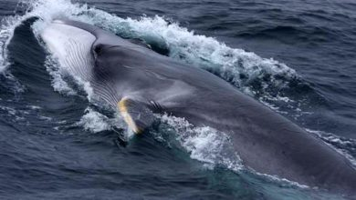Photo of Fin whale – one of the largest whales