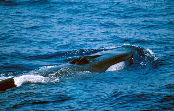 Fin whale (Balenoptera physalus)