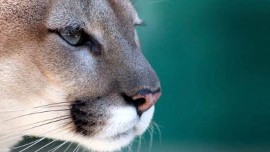 Photo of Florida panther – cougar with a broken tail