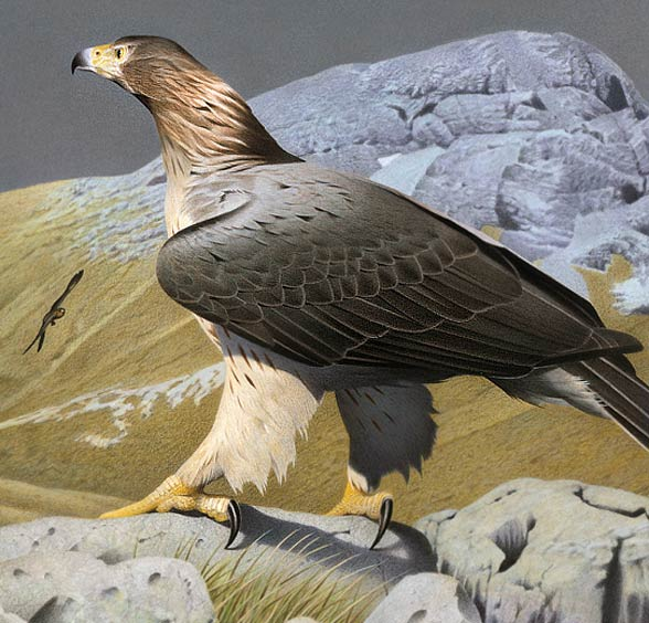 Haast's eagle (Harpagornis moorei)