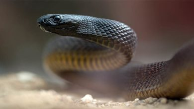 Photo of Inland taipan – the most venomous snake