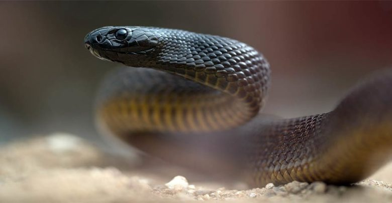 Photo of Inland taipan – the most venomous snake