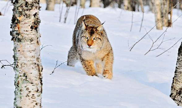 Thanks to wide paws, similarly to the snow leopard, the lynx moves around snowdrifts easily.