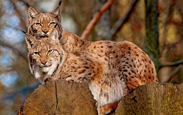 Lynxes are solitary animals. They pair only in the mating season.