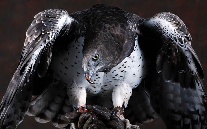 The Largest And Most Powerful Birds Of Prey Top 10 Dinoanimals Com