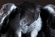 Photo of Martial eagle (Polemaetus bellicosus)