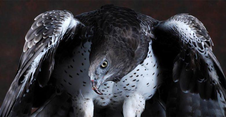 Photo of Martial eagle (Polemaetus bellicosus)
