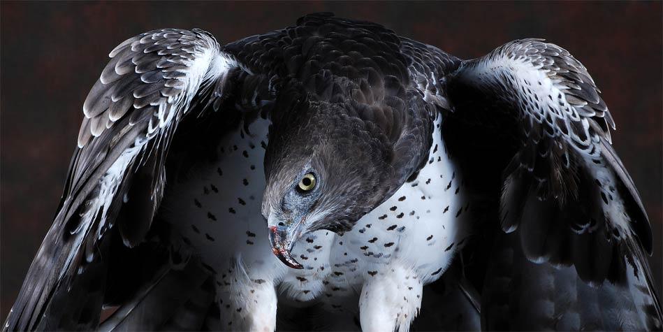 Martial eagle (Polemaetus bellicosus) | DinoAnimals.com