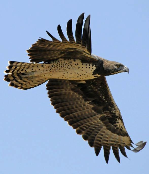 Martial eagle (Polemaetus bellicosus).