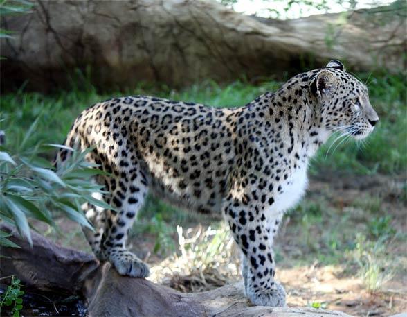 Persian leopard (Panthera pardus ciscaucasica).