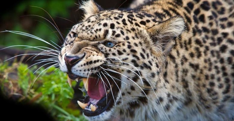 Photo of Persian leopard – the largest leopard
