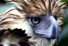 Photo of Philippine eagle – the largest eagle in the world