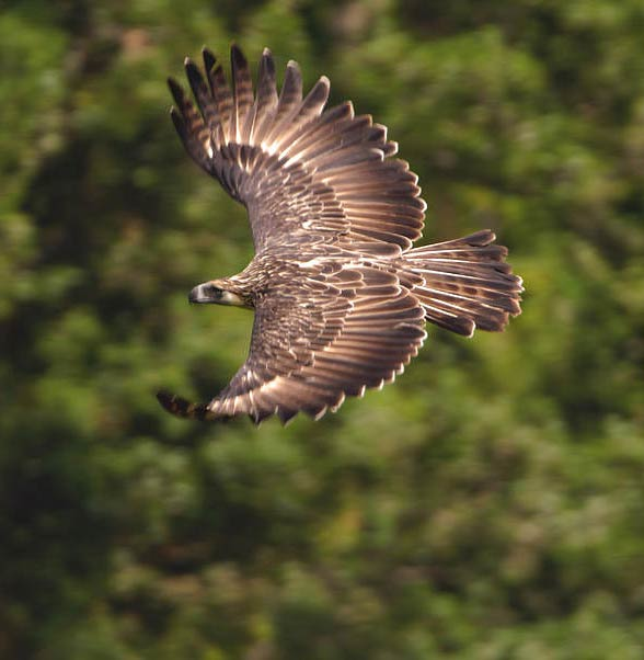 Great Philippine eagle, monkey-eating eagle (Pithencophaga jefferyi)
