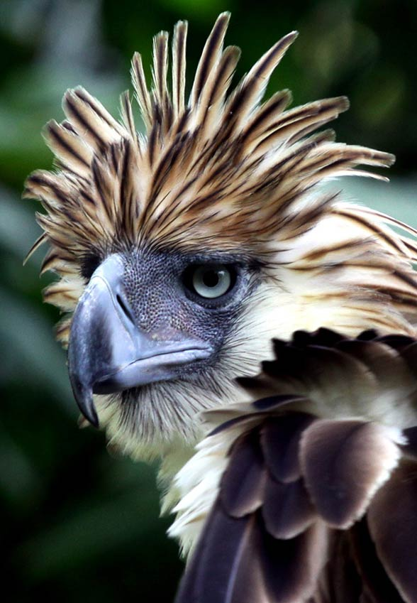 Great Philippine eagle, monkey-eating eagle (Pithencophaga jefferyi)