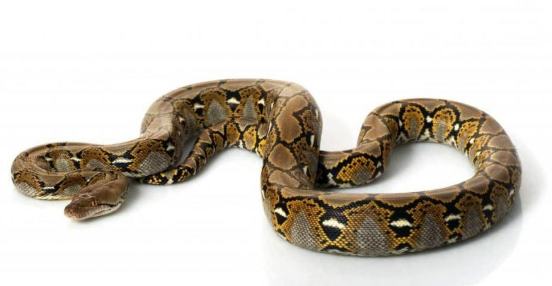 Photo of Reticulated python – the longest snake