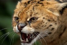 Photo of Serval – smaller cheetah
