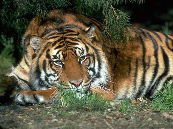 South China tiger (Panthera tigris amoyensis).