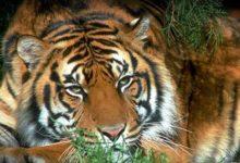 Photo of South China tiger (Panthera tigris amoyensis)