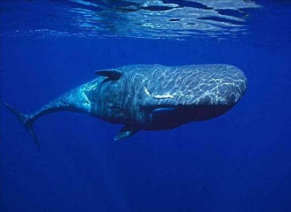 Sperm whale, cachalot (Physeter macrocephalus)
