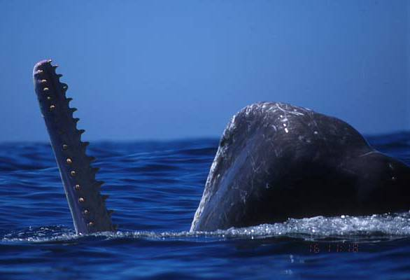 Sperm whale, cachalot (Physeter macrocephalus)