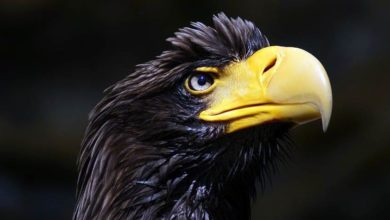 Photo of Steller's sea eagle – the heaviest eagle