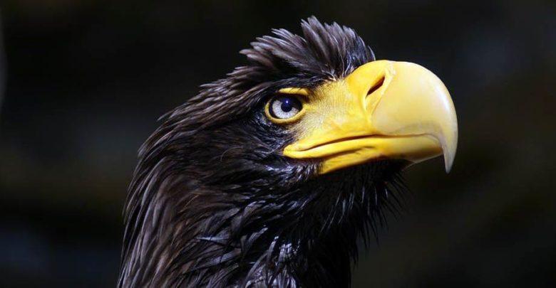 Photo of Steller's sea eagle – the heaviest eagle