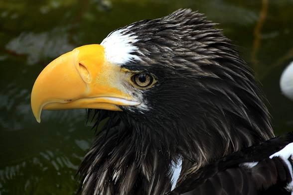 Steller's sea eagle (Heliaeetus pelagicus).