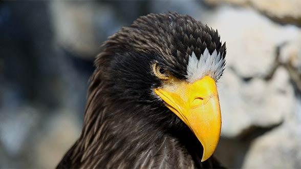 Steller's sea eagle (Heliaeetus pelagicus)