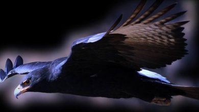 Photo of Verreaux's eagle – black eagle