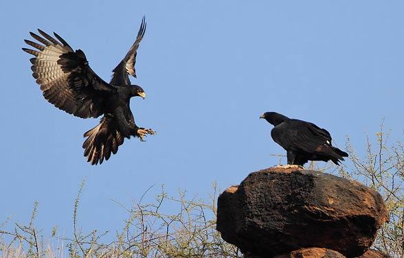 Verreaux's eagle, black eagle (Aquila verreauxii).