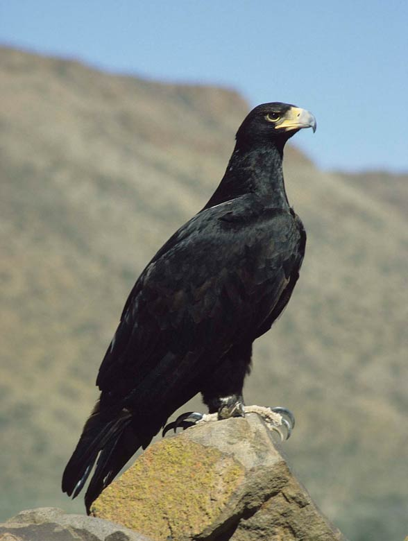 Verreaux's eagle, black eagle (Aquila verreauxii).
