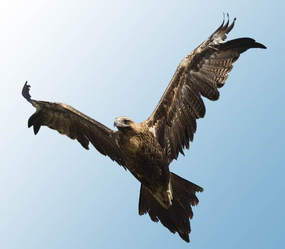 Wedge-tailed eagle, eaglehawk (Aquila audax).