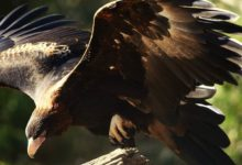 Photo of Wedge-tailed eagle – eaglehawk