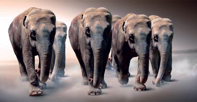 Photo of Asian elephant (Elephas maximus)
