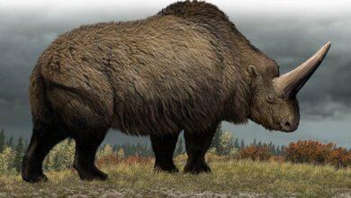 Photo of Giant rhinoceros (Elasmotherium) – a prehistoric rhino