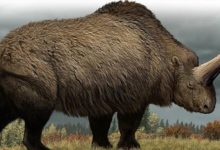 Photo of Giant rhinoceros (Elasmotherium) – a prehistoric rhino