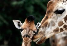 Photo of Giraffe – the tallest living animal