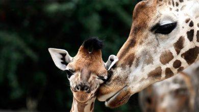 Photo of Giraffe – the tallest living animal
