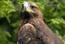 Photo of Lesser spotted eagle – a walking eagle