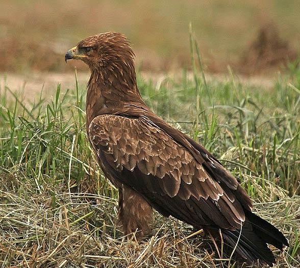 Lesser spotted eagle (Clanga pomarina).
